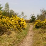 Gorse in the Menteith Hills
