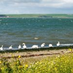 Swans beside Loch Ryan