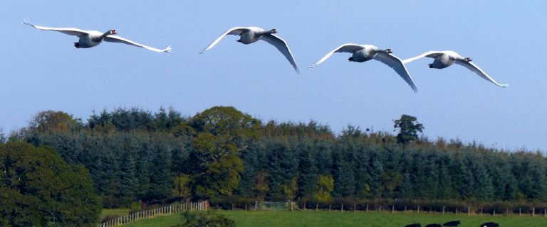 Swans over Castle Loch